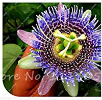 Passiflora Ligularis、甘いグラナディラ、約20の新鮮な種、砂糖の果実、香りのよい花、涼しい天気が好き