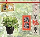 斑入りお多福南天(オタフクナンテン) 満福(まんぷく) ポット苗 庭木 常緑樹 グランドカバー 低木