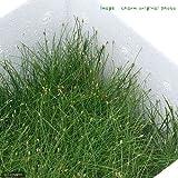 (水草)ヘアーグラス ショート(水上葉)お買い得BOX(無農薬)(1個) 本州・四国限定[生体]