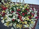 花の種子ネメシアKarnaval(ネメシアstrumosa)年次ミックス