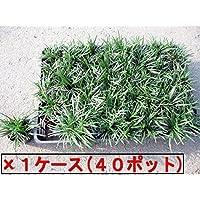 タマリュウ(玉竜) ポット 40ポット(40ポット×1ケース)(植え付け方付)