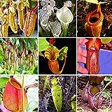 タイムリミット!! 11各種ウツボカズラ種子バルコニー鉢植え盆栽植物の種子盆栽食虫植物の種子50個/ロット、#615NRJ