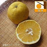 かわちばんかん(河内晩柑)4.5号ポット[ジューシーオレンジ ジューシー柑 柑橘・かんきつ類苗木] ノーブランド品