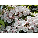 カルミア:ラテフォリア樹高40~50cm根巻き[白~淡桃花の強健な実生育成種]