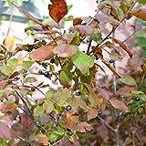 ナツハゼ3.5号ポット 2株セット[涼しげな葉、初夏の花と秋の実が美しい落葉樹] ノーブランド品