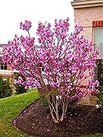 種子:ポットまたはOurdoor工場Fで30個/袋マグノリア美しい花の木の種の種子