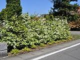 【1年間枯れ保証】【生垣樹木】トキワマンサク青葉白花 1.2m