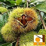 栗(クリ):銀寄(ギンヨセ)4〜5号ポット[豊産性中生大果種][苗木]