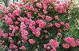 バラ苗 ラビィーニア 国産新苗4号ポリ鉢 つるバラ(CL) 四季咲き ピンク系
