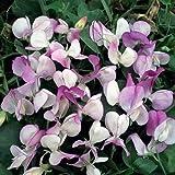 【PLANT】Sweet Pea Semi-Dwarf Pansy Lavender Flush スイート・ピー・パンジー・ラベンダー・フラッシュ *セミ・ドワーフ(半矮性品種・グループ)・1苗*スイート・ピー苗は4苗までは送料1件分(最小60cmサイズ)です。