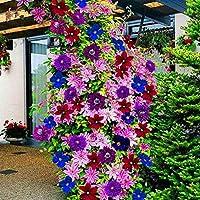 種子パッケージ: 1:花のFとして制限時間!!の100pcs /グラムガール花ES盆栽の花