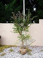 ニシキギ 樹高H:1500mm