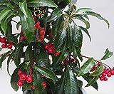 【 花想久里 はなおくり 万両 6寸 鉢 生 】 真っ赤に色付きました。 縁起のいい 赤い実の マンリョウ 御歳暮 フラワーギフト ご自宅用 にも 人気 鉢植え