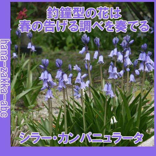 ◆ 【春を呼ぶ花】 シラーカンパニュラータ MIX 【オランダからの花便り】【秋植え球根】
