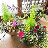 季節のおまかせ寄せ植え(鉢色選べる♪テラコッタ風オーバル形樹脂鉢植え) (ベージュ)
