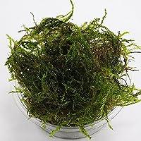【数量限定】(水草)ウィローモス 1カップ 約20g(無農薬) メダカ 金魚藻 国産
