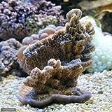 (海水魚 サンゴ)コモンサンゴ おまかせカラー(1個) 本州・四国限定[生体]