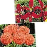 国華園 春植え球根 希少な赤花セット 2種4球【※発送が国華園からの場合のみ正規品です】