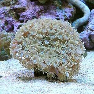 (海水魚 サンゴ)オオスリバチサンゴ おまかせカラー Sサイズ(1個) 本州・四国限定[生体]