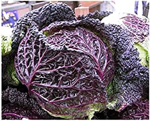 Amazon Co Jp Bluish Purple Savoy Cabbage Belona Verona 3 5 Inches 9 Cm Pot Seedling Diy Tools Garden