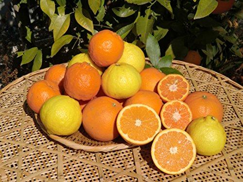 愛媛 宇和島 吉田産 いろいろ柑橘詰合せ 宇和海の幸問屋 (贈答用 10kg)