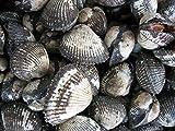 国産「赤貝(サルボ)10Kg」活きたままお届けします。