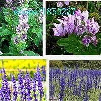 赤:セージの種、ブルーガーデンセージ、ヨーロッパの庭の植物の種 - 100粒子の花の種