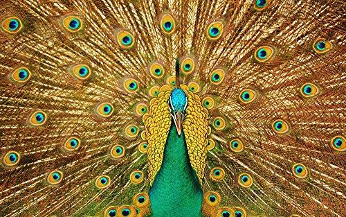 絵画風 壁紙ポスター (はがせるシール式) 芸術的なクジャクの飾り羽 孔雀 インドクジャク 鳥 キャラクロ BKJK-002W1 (ワイド版 921mm×576mm) 建築用壁紙+耐候性塗料