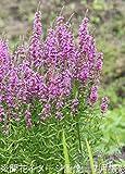 山野草:ミソハギ (禊萩) 9cmポット苗【紫桜館山の花屋】