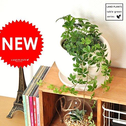 LAND PLANTS 【観葉植物】 シュガーバイン (白色丸型陶器)