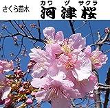 さくら苗木・河津桜(カワヅザクラ)