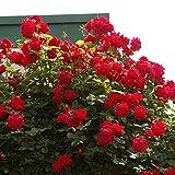バラ苗 アンクルウォルター 国産大苗6号スリット鉢 つるバラ(CL) 四季咲き中輪 赤系