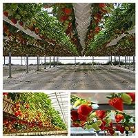 300pcs果実豊かなイチゴの植物屋外のイチゴの樹木の植物おいしい有機果物の植物ホームガーデン植物中庭Pla:フルーツなイチゴ