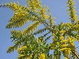 ミモザアカシア樹高1.5m前後【黄色花】人気上昇中の常緑樹