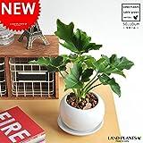 LAND PLANTS 【観葉植物】 セローム 白色丸型陶器 table green series