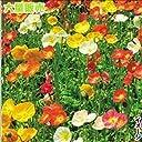 【メール便配送】国華園 花たね 大量たね アイスランドポピー 1袋(60mg)【※発送が国華園からの場合のみ正規品です】