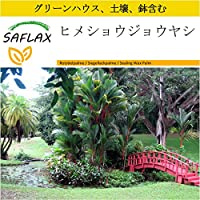 SAFLAX - 鉢植えセット - ヒメショウジョウヤシ - 10 個の種。- ミニプラスチックグリーンハウス、鉢植え用土壌、鉢×2個を含みます - Cyrtostachys renda
