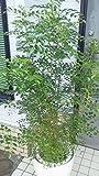 自然樹形のシマトネリコ♪心地良い葉擦れが五感に優しく触れる♪/高さ150cm前後/10号プラ鉢(鉢カバー別売り、受け皿付)/送料無料