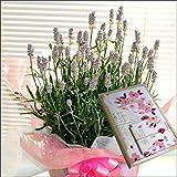 母の日限定 ピンクのラベンダー(富良野の思い出)5号鉢植え&てまり桜やわらかガーゼ手ぬぐい・ハンカチセット