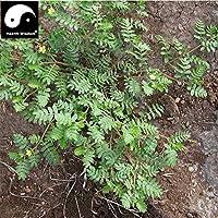 スワングリーン10種子 - 多色アガベ種子 - 盆栽多肉植物種子