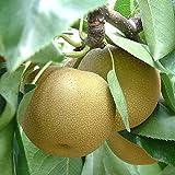 梨 農家自家用幸水梨2.5kg 7〜9玉 なし ナシ 8月上旬出荷予定(gn)