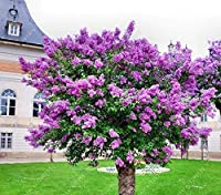 Portal Cool 100 Pcs/Bag Lilac Purple Japanese Lilac Clove Flower Seeds Lilac Trees Outdoor P