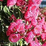 バラ苗 つるアンジェラ 国産新苗4号ポリ鉢 つるバラ(CL) 四季咲き小輪 ピンク系