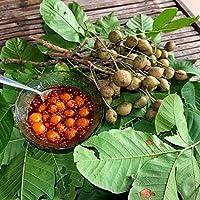 レッドシュガーアップルバンレイシsquamosaバンレイシ科10種ThaiGardener