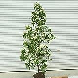 庭木:常緑ヤマボウシ(ホンコンエンシス・月光) H:約160cm 佐川急便!