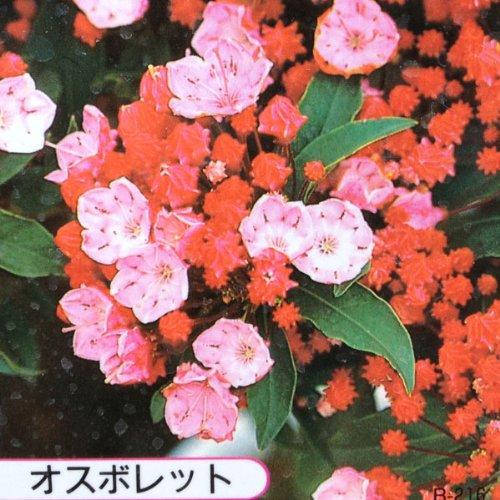 鉢花:カルミア*アメリカシャクナゲ(5号)【品種選べます】 (オスボレット)