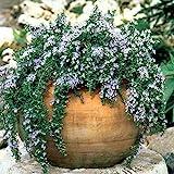 「ローズマリー サンタバーバラ」【品種で選べるハーブ苗9cmポット/2個セット】ほふく性で枝が良く伸び、薄いブルーの花を咲かせます。四季咲性が強く、調子がいいと周年咲いています。鉢植えにするとコンパクトに楽しめます。【即出荷!】