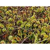 【種子】Dionaea Muscipulaハエトリグサ/ハエトリソウ/蠅捕草◎北アメリカ原産の食虫植物◆5粒 [並行輸入品]