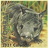"wombat animal Wall Calendar 2021: Wombat Australian Animal ""8.5x8.5"" Inch Wall 2021 Calendar"