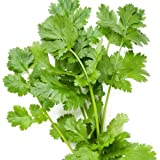 Coriander 100 Seeds Eureka Slow Bolt Corriander Culinary Herb Cilantro Dhaniya